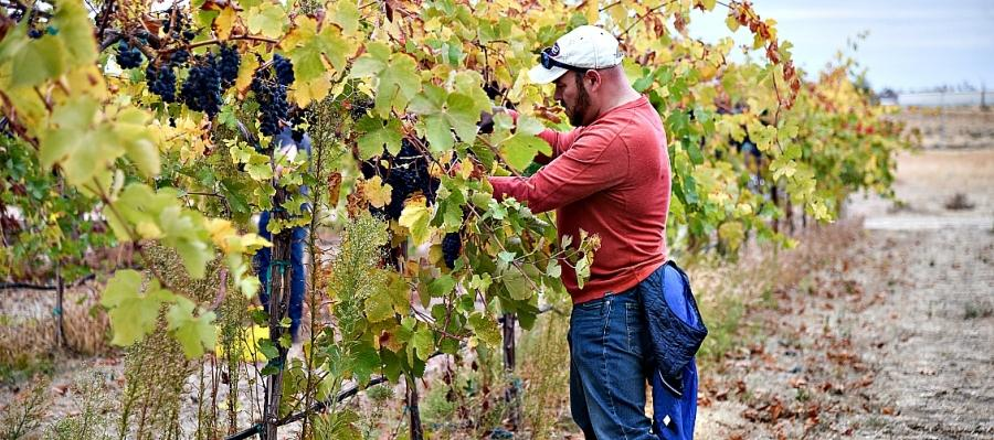 Viticulture student Grant Bailey harvests Syrah grapes at WSU teaching vineyard at Richland campus