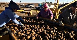 Workers sort russet potatoes at Mike Pink Farm in Mesa, Washington