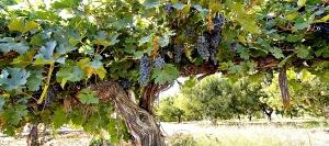 An older vine at Upland Vineyard on Snipes Mountain within the Yakima Valley AVA