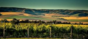 Subtte shadings of Walla Walla Valley form backdrop for this vineyard